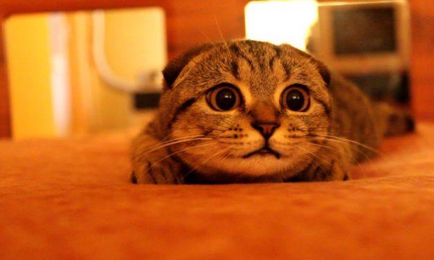 Suzie The Bomb Cat – Pisicuţa Scottish Fold cu codiţă s...